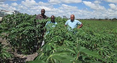 Mandioqueiras geneticamente melhoradas foram introduzidas na província pelo  PADES para melhorar as culturas deste tubérculo