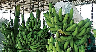 Benguela tem condições climáticas ideais para a produção da banana