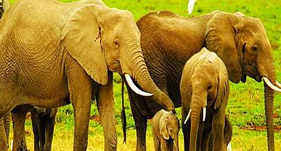Apesar de ter baixado consideravelmente o número a população de elefantes no país ainda não constitui um sinal de alarme