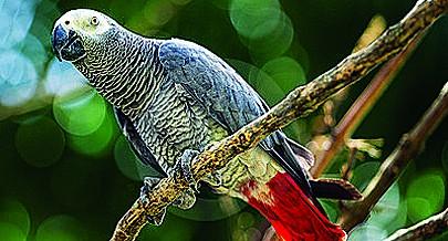 Dados em posse do Ministério do Ambiente revelam que a lista de espécies em vias de extinção em Angola inclui papagaios