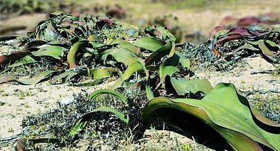 A Welwitschia Mirabilis é uma planta endémica do deserto do Namibe onde foram descobertos exemplares com mais de dois mil anos