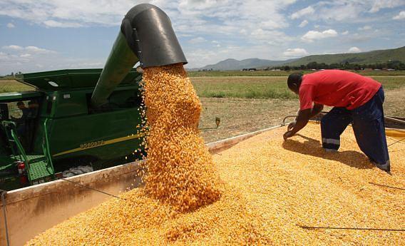 Centenas de toneladas de milho produzidas anualmente no município de Quipungo
