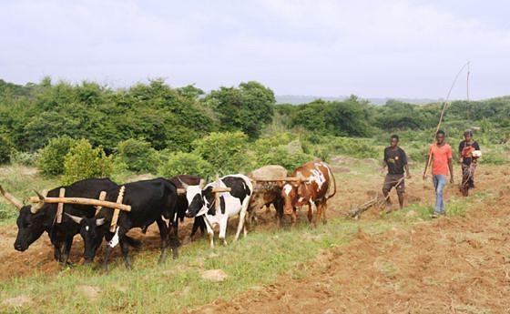 Com a falta de tractores operacionais  a tracção animal é o forte do município e que requer  do Executivo promover a sanidade animal