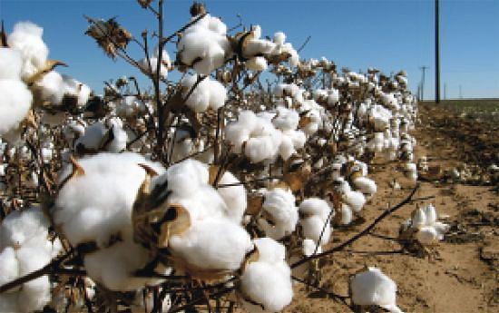 Produção  de algodão é crucial para o relançamento da indústria