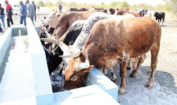 Município dos Gambos tem concentrado o grosso do gado bovino da província