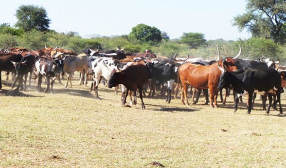 Gado bovino é uma das principais apostas da população local