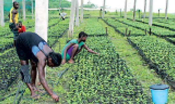 A prática da agricultura tradicional  constitui uma fonte de alimentação