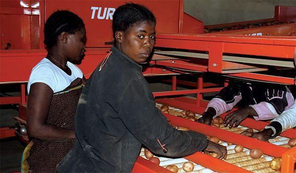 Trabalhadores engajados  na selecção  da batata rena no município da Matala