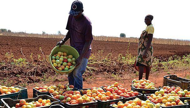 Momento da colheita de tomate simboliza também um novo ciclo de produção