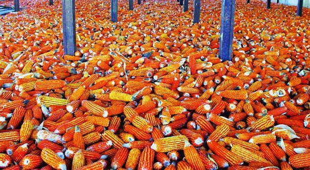 Além de milho o município produz frutas em quantidades como maçã e pera que são escoados para variás regiões