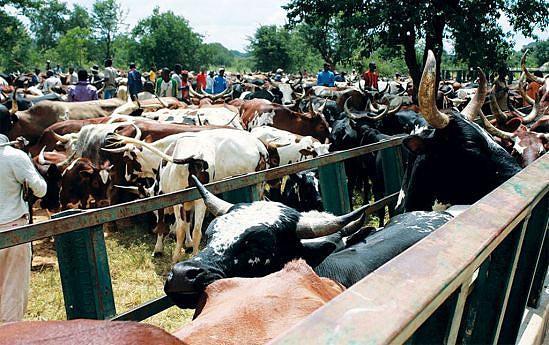É preciso que os que têm gado devem saber que aquilo é um `banco ´e serve como  recurso para quando não tiverem comida