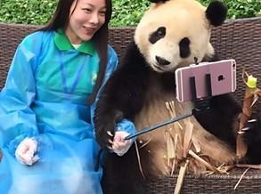 Panda que adora tirar selfies faz sucesso na China