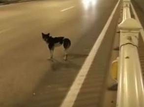 Cão espera pela dona na estrada onde a mulher morreu há mais de 80 dias na China