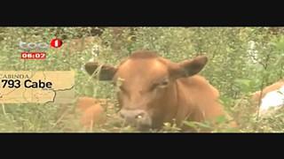 Cabinda sem vacinas e medicamentos para o gado