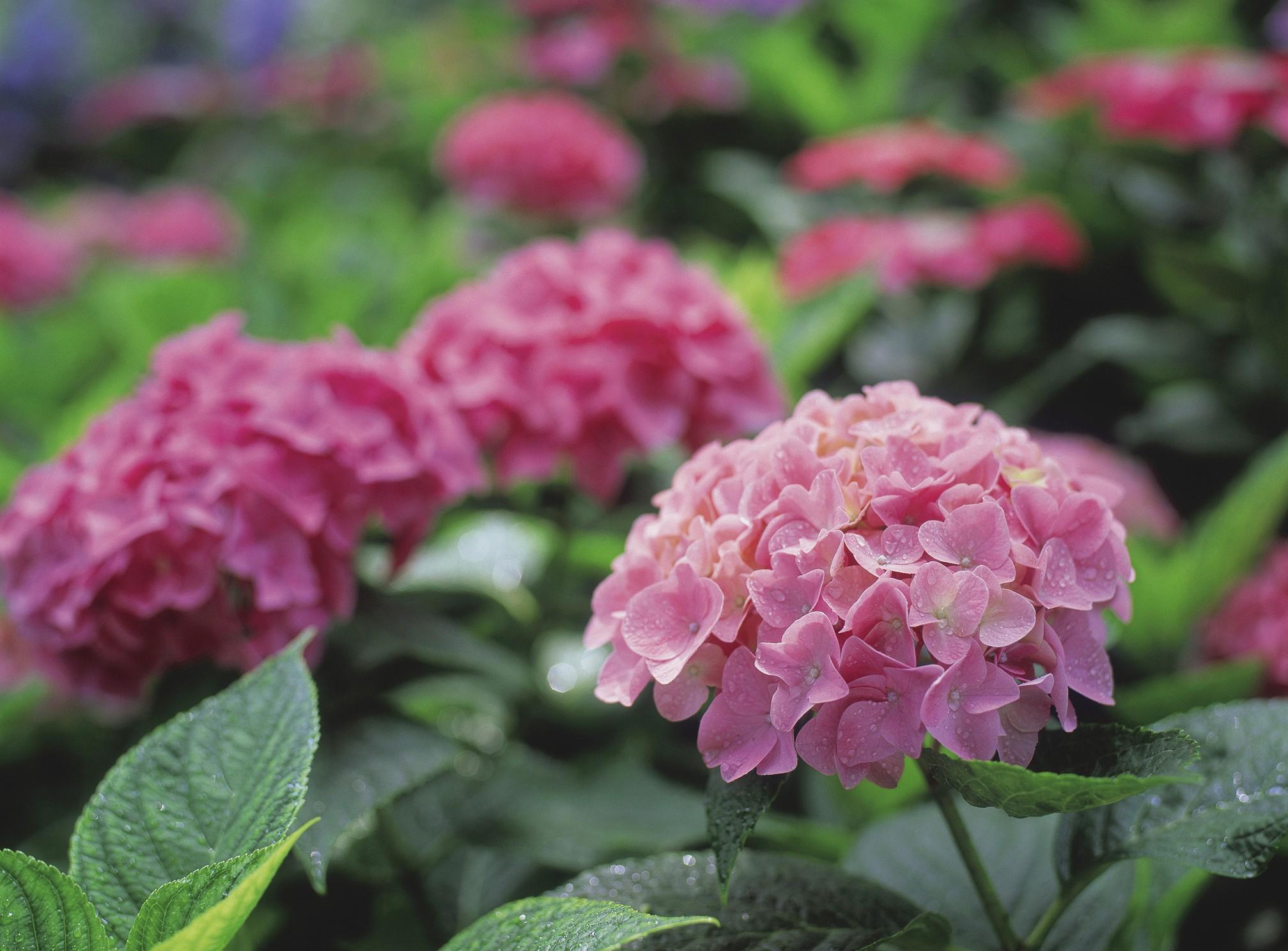 7 Passos Para Cultivar Hortênsias Com Sucesso Decoração E