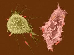Bactéria Escherichia Coli O104:H4