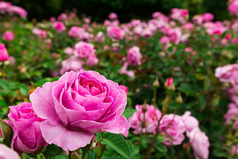 Consiga Rosas Ainda Mais Bonitas Decoração E Jardins