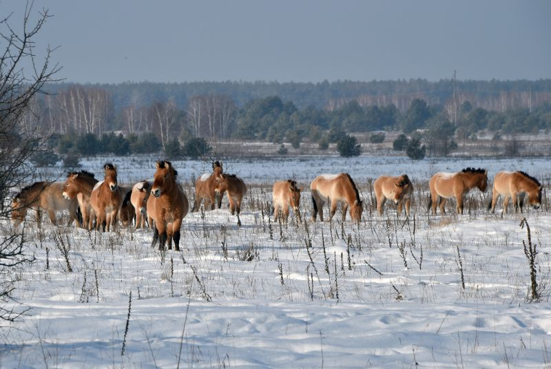 (FILES) This file photo taken on January 22, 2016 shows wild Przewalski's horses grazing  on a snow covered field in the Chernobyl exclusions zone. In 1990, a handful of endangered Przewalski's (Dzungarian) horses were brought in the exclusions zone to see if they would take root. They did so with relish, and about a hundred of them now graze the empty but sustenant fields. Przewalski's horses are the last surviving subspecies of wild horse. / AFP PHOTO / GENYA SAVILOV