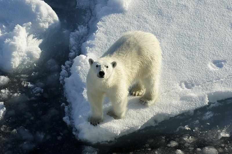 Cientistas inspiram-se no pelo de urso-polar para criar isolamento térmico
