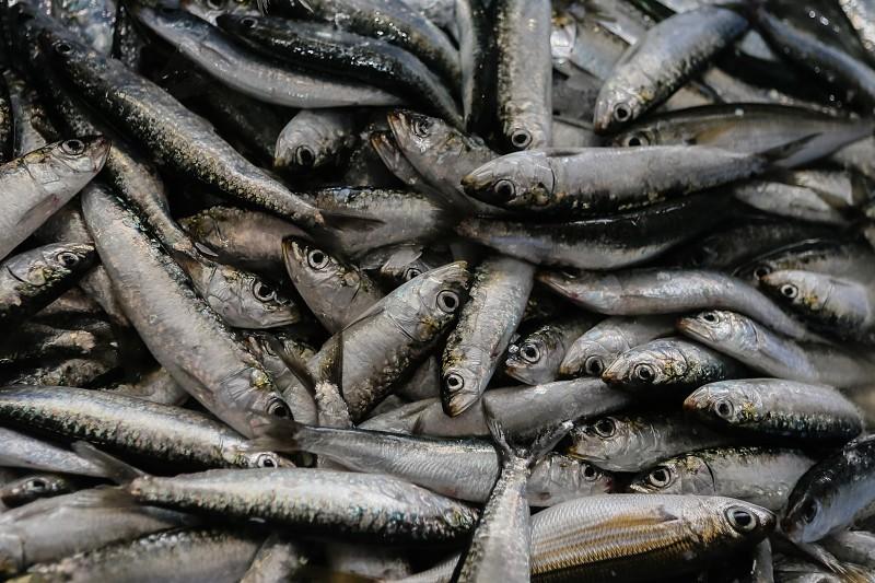 Período de candidaturas a apoio à proibição da pesca da sardinha foi alargado