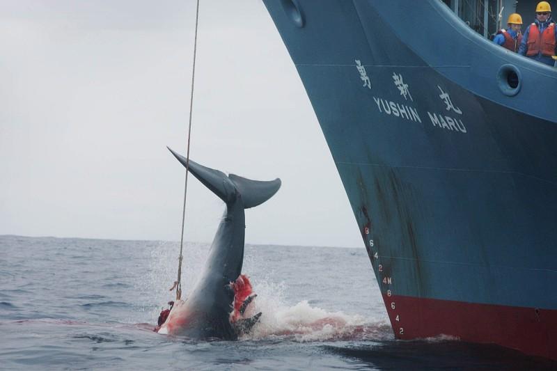 Japão sai da Comissão Baleeira Mundial e vai retomar pesca comercial de baleias