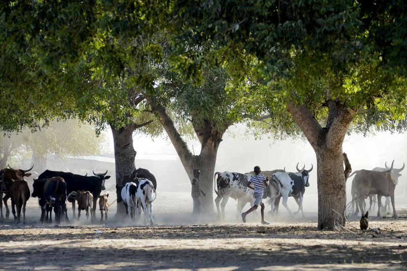 Ladrões de gado bovino envolvidos em tiroteios com a polícia no norte da Guiné-Bissau