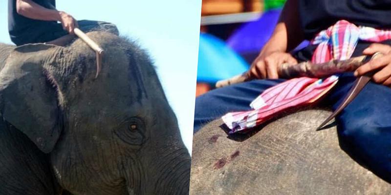 Fotos chocantes mostram como elefantes são torturados e alertam turistas na Tailândia
