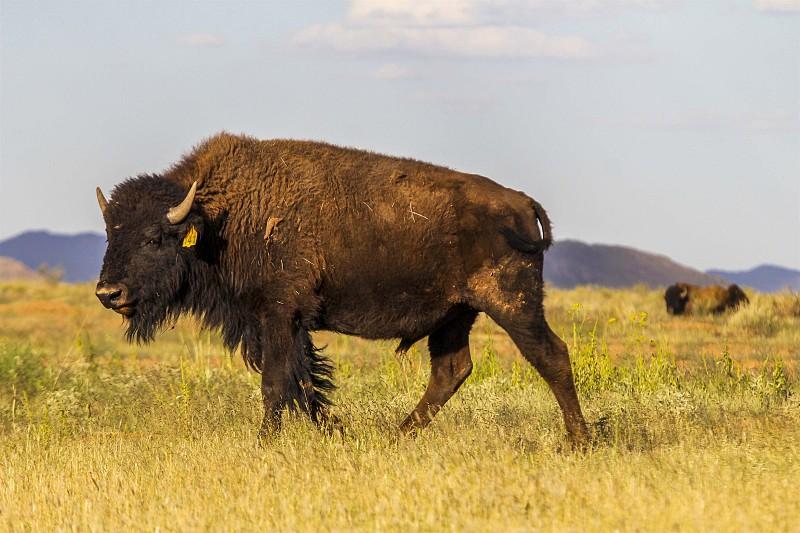 Entre o México e os Estados Unidos, os Búfalos vão sobrevivendo