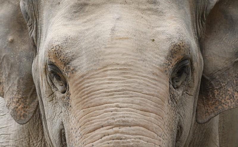 CITES impõe limites a captura de elefantes para zoos