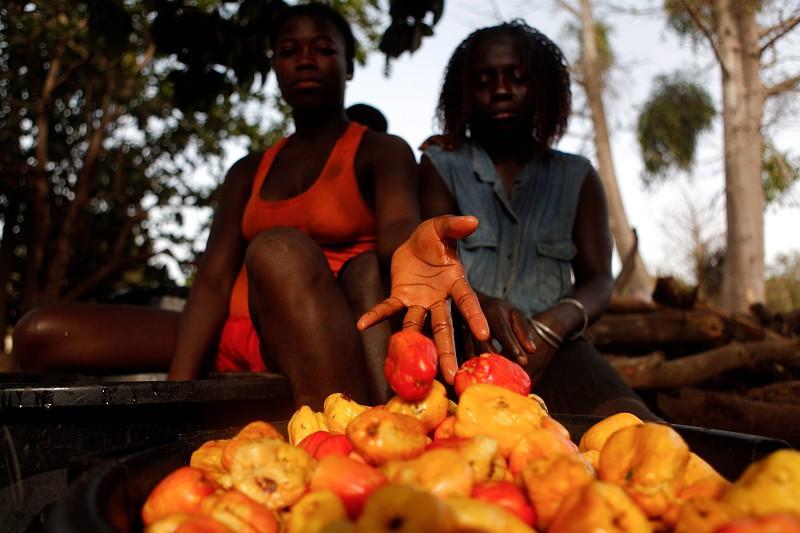 Cultura do caju devia ser bem tratada porque evita fome na Guiné-Bissau - associação