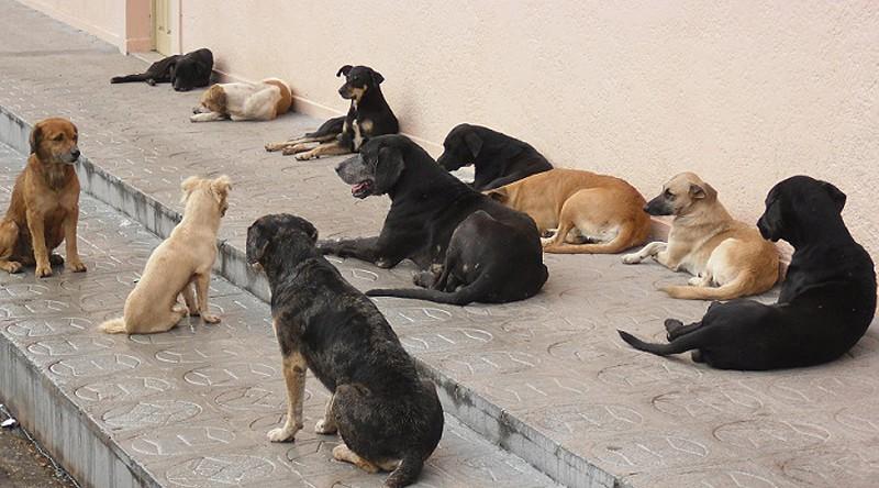 Resultado de imagem para Captura e eletrocussão de cães em Cabo Verde gera indignação, autarquia diz ser legal