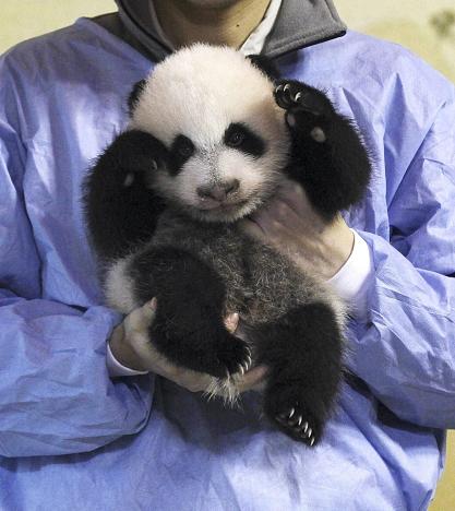 Nasceu um panda em Madrid