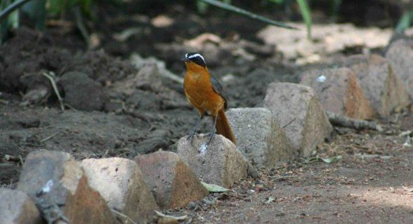 White Browed (Heuglin's) Robin Chat