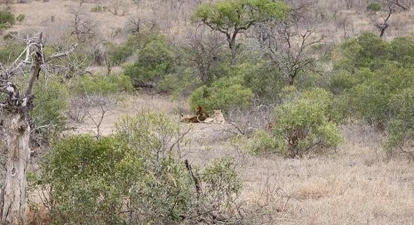 Leão - Kruger Park - África do Sul