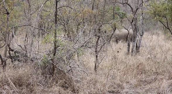 Rinoceronte - Kruger Park