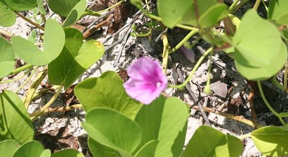 Flor da ilha