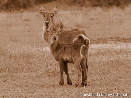 Waterbuck and calf