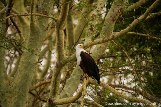Fisheagle in fever trees
