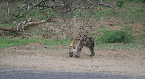 Hiena - Kruger Park, África do Sul