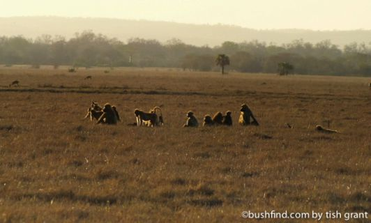 Evening baboons
