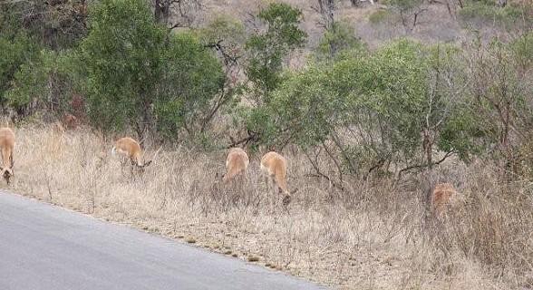Impalas - Kruger Park, África do Sul