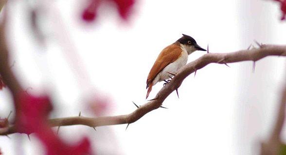 Black-and-White (Vanga) Flycatcher
