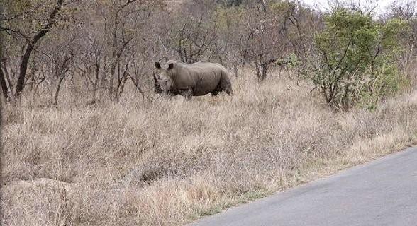 Rinoceronte - Kruger Park, África do Sul