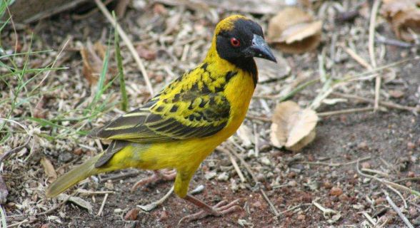 Village (Spotted-Backed) Weaver