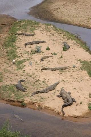 Crocodilos - Kruger Park - África do Sul