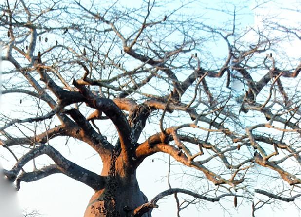 O baobá na paisagem Africana