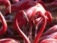 O Fim dos Flamingos Rosa no Lobito