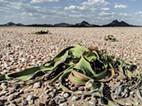 Welwitschia mirabilis no Deserto do Namibe continua atrair turistas estrangeiros