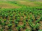 Porto Novo: Festival de milho verde marcada para início d dezembro