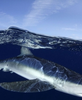 O tubarão azul